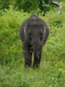 Olifant Yala National Park - Sri Lanka